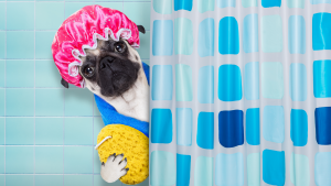 dog with shower cap on head and sponge behind shower curtain